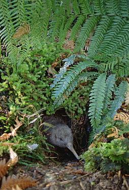 Great Spotted Kiwi (Apteryx haastii) male in rainforest habitat, Kiwi House, Otorohanga Breeding Facility, New Zealand  -  Tui De Roy