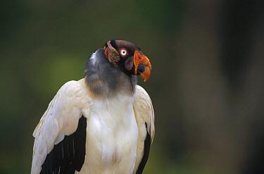 King Vulture (Sarcoramphus papa) portrait, Ese'eja native lands, Tambopata River, Peruvian Amazon, Peru  -  Tui De Roy