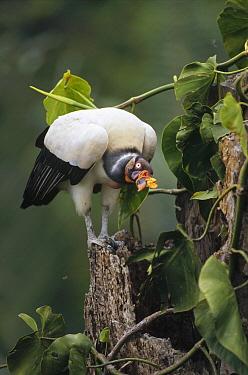 King Vulture (Sarcoramphus papa) at the entrance of its nest cavity in snag, Tambopata River, Peruvian Amazon, Peru  -  Tui De Roy