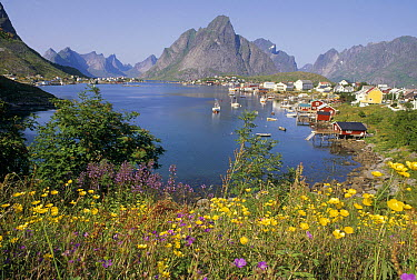 Traditional fishing village nestled amid granite peaks and summer wildflowers, Lofoten Island, Norway  -  Tui De Roy