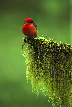 Vermilion Flycatcher (Pyrocephalus rubinus) male on moss covered branch, Santa Cruz Island, Galapagos Islands, Ecuador  -  Tui De Roy