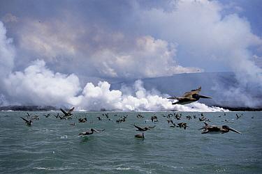 Brown Pelican (Pelecanus occidentalis) group flocking to hot waters where lava flows enter the sea attracted by dead fish, Cape Hammond, Fernandina Island, Galapagos Islands, Ecuador  -  Tui De Roy