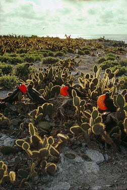 Great Frigatebird (Fregata minor) males courting with inflated gular air pouches among Cholla (Opuntia sp) cactus, Wenman Island, Galapagos Islands, Ecuador  -  Tui De Roy