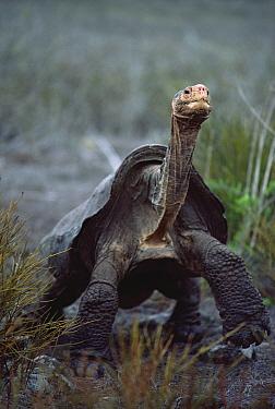 Saddleback Galapagos Tortoise (Chelonoidis hoodensis) old male in arid caldera, Pinzon Island, Galapagos Islands, Ecuador  -  Tui De Roy