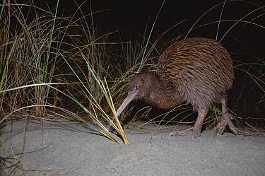 Stewart Island Brown Kiwi (Apteryx australis lawryi) female probing by scent for insects along grassy beach, Ocean Beach, Stewart Island, New Zealand  -  Tui De Roy