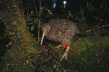 Okarito Kiwi (Apteryx rowi) male affectionately known as Scooter carrying tiny radio transmitter, Okarito Forest, Westland, South Island, New Zealand  -  Tui De Roy