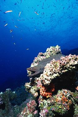 Fine-spotted Moray Eel (Gymnothorax dovii) amid corals, Roca Redonda, Galapagos Islands, Ecuador  -  Tui De Roy