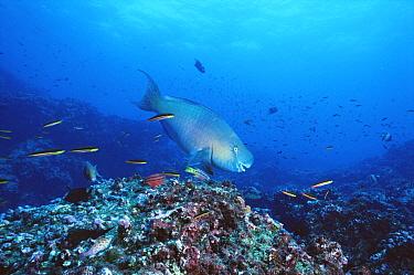 Redlip Parrotfish (Scarus rubroviolaceus) swimming over corals, Roca Redonda, Galapagos Islands, Ecuador  -  Tui De Roy