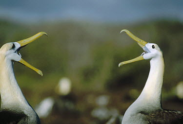 Waved Albatross (Phoebastria irrorata) couple in courtship display, Punta Suarez, Galapagos Islands, Ecuador  -  Tui De Roy