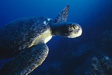 Green Sea Turtle (Chelonia mydas) swimming underwater, Cousin's Island, Galapagos Islands, Ecuador  -  Tui De Roy