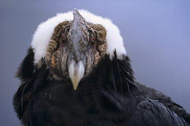 Andean Condor (Vultur gryphus) adult male named Rucu is 35 years old, Condor Huasi Project, Hacienda Zuleta, Cayambe, Ecuador  -  Tui De Roy