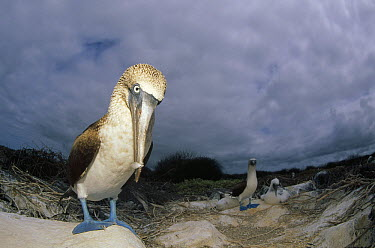 Blue-footed Booby (Sula nebouxii) family on nest site, Punta Suarez, Hood Island, Galapagos Islands, Ecuador  -  Tui De Roy