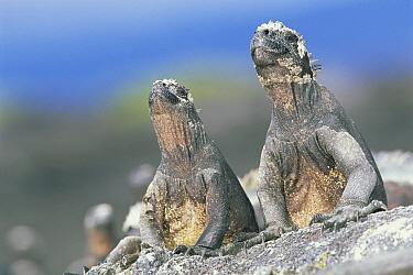 Marine Iguana (Amblyrhynchus cristatus) pair sky pointing to keep cool in hot sun, Punta Espinosa, Fernandina Island, Galapagos Islands, Ecuador  -  Tui De Roy