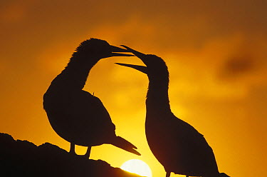 Masked Booby (Sula dactylatra) couple courting at sunset, Tower Island, Galapagos Islands, Ecuador  -  Tui De Roy