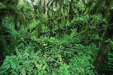 Scalesia (Scalesia sp) forest, fern laden understory during cold season, highlands of Santa Cruz Island, Galapagos Islands, Ecuador  -  Tui De Roy