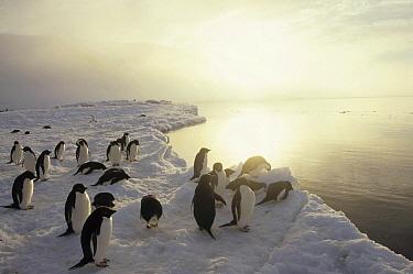 Adelie Penguin (Pygoscelis adeliae) group commuting to sea over ice apron, Cape Hallet, Ross Sea, Antarctica  -  Tui De Roy