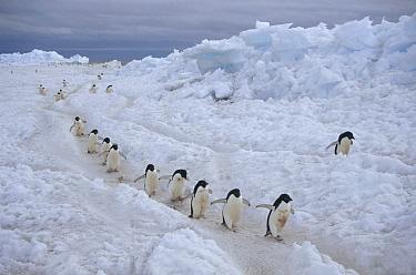 Adelie Penguin (Pygoscelis adeliae) group commuting to colony across fast ice, Franklin Island, Ross Sea, Antarctica  -  Tui De Roy