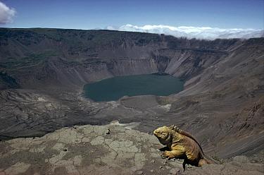 Galapagos Land Iguana (Conolophus subcristatus) overlooking 1, 000 meters deep volcanic caldera, Fernandina Island, Galapagos Islands, Ecuador  -  Tui De Roy
