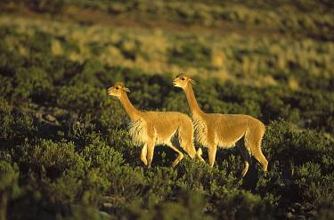 Vicuna (Vicugna vicugna) wild Andean camelid, aggressive posturing, Pampa Galeras Nature Reserve, Peru  -  Tui De Roy