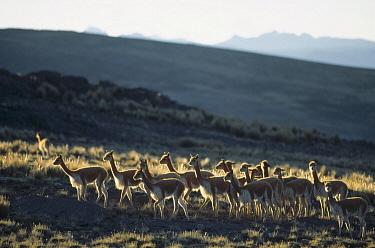 Vicuna (Vicugna vicugna) wild Andean camelid, non-territorial bachelor male herd, Pampa Galeras Nature Reserve, Peru  -  Tui De Roy