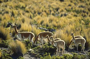 Vicuna (Vicugna vicugna) wild Andean camelid, family herd, Pampas Galeras Nature Reserve, Peru  -  Tui De Roy