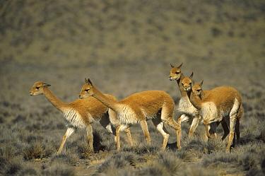 Vicuna (Vicugna vicugna) wild high Andean camelid, family herd, Aguada Blanca Nature Reserve, Peru  -  Tui De Roy