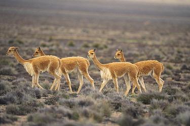Vicuna (Vicugna vicugna) wild high Andean camelid, prized for extremely fine wool, Aguada Blanca Nature Reserve, Peru  -  Tui De Roy