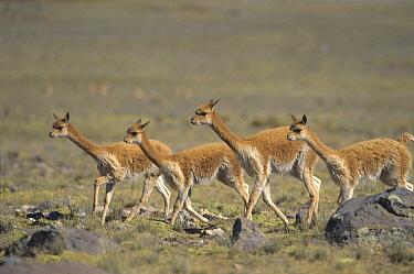 Vicuna (Vicugna vicugna) wild Andean camelid, family running, maximum speed 45 kilometers per hour, Pampa Galeras Nature Reserve, Peru  -  Tui De Roy