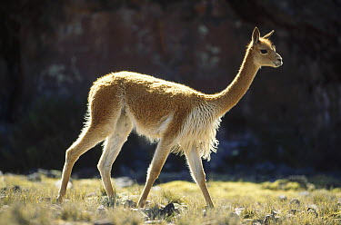 Vicuna (Vicugna vicugna) wild Andean camelid, harem holding male on lookout for rivals, Pampa Galeras Nature Reserve, Peru  -  Tui De Roy