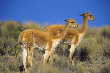 Vicuna (Vicugna vicugna) pair, wild Andean camelid prized for extremely fine wool, Aguada Blanca Nature Reserve, Peru  -  Tui De Roy