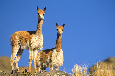 Vicuna (Vicugna vicugna) pair, a wild camelid of the high Andes exploited for its extremely fine wool, Pampas Galeras Nature Reserve, Peru  -  Tui De Roy