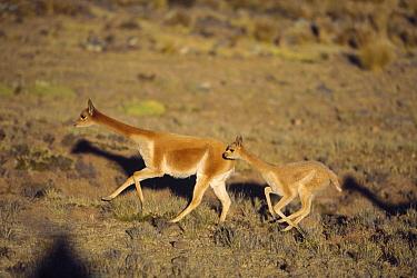 Vicuna (Vicugna vicugna) wild Andean camelid family running, maximum speed 45 kilometers per hour, Pampa Galeras Nature Reserve, Peru  -  Tui De Roy