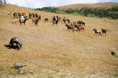 Feral Goat (Capra hircus) herd, new invasion causing rapid desertification of last Giant Galapagos Tortoise stronghold, Alcedo Volcano, Isabella Island, Galapagos Islands, Ecuador  -  Tui De Roy