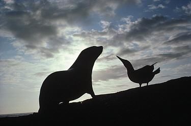 Galapagos Fur Seal (Arctocephalus galapagoensis) pup and Blue-footed Booby (Sula nebouxii) displaying mutual interest, Fernandina Island, Galapagos Islands, Ecuador  -  Tui De Roy