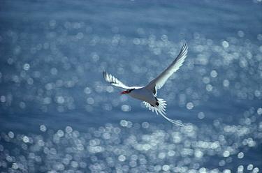 Swallow-tailed Gull (Creagrus furcatus) flying, showing predominantly white coloration, Wenman Island, Galapagos Islands, Ecuador  -  Tui De Roy