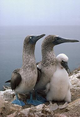 Blue-footed Booby (Sula nebouxii) pair with chick, Daphne Island, Galapagos Islands, Ecuador  -  Tui De Roy