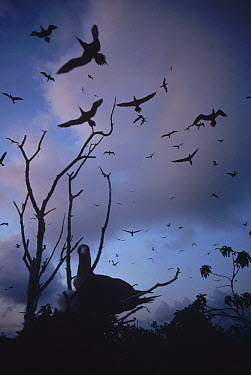 Red-footed Booby (Sula sula) nesting birds flying back to isolated island at dusk, Culpepper Island, Galapagos Islands, Ecuador  -  Tui De Roy