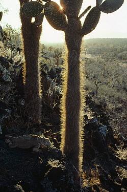 Santa Fe Land Iguana (Conolophus pallidus) males in Opuntia (Opuntia sp) cactus, Santa Fe Island, Galapagos Islands, Ecuador  -  Tui De Roy