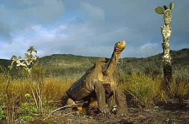 Pinzon Island Tortoise (Chelonoidis ephippium) living on arid thorn scrub terrain, Pinzon Island, Galapagos Islands, Ecuador  -  Tui De Roy