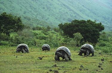 Galapagos Giant Tortoise (Chelonoidis nigra) large males on caldera floor, Alcedo Volcano, Isabella Island, Galapagos Islands, Ecuador  -  Tui De Roy