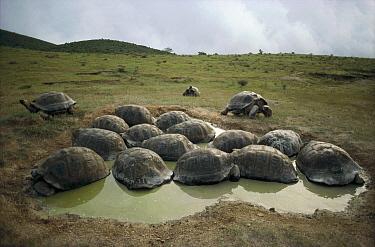 Galapagos Giant Tortoise (Chelonoidis nigra) group wallowing in seasonal pool on caldera floor, Alcedo Volcano, Isabella Island, Galapagos Islands, Ecuador  -  Tui De Roy