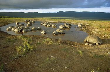Galapagos Giant Tortoise (Chelonoidis nigra) group wallowing in seasonal pool inside caldera, Alcedo Volcano, Isabella Island, Galapagos Islands, Ecuador  -  Tui De Roy