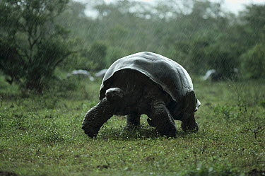 Galapagos Giant Tortoise (Chelonoidis nigra) in rainy season downpour on caldera floor, Alcedo Volcano, Isabella Island, Galapagos Islands, Ecuador  -  Tui De Roy