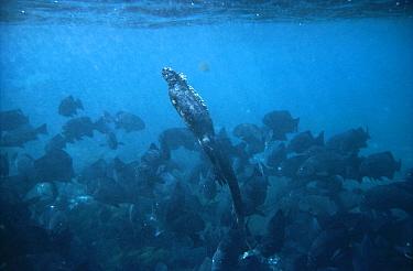 Marine Iguana (Amblyrhynchus cristatus) large male swimming to the surface amid schooling Dusky Chubs (Girella freminvillei), Cape Douglas, Fernandina Island, Galapagos Islands, Ecuador  -  Tui De Roy