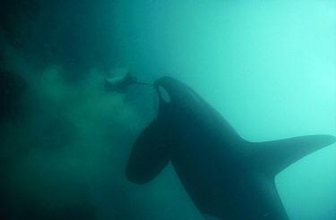 Orca (Orcinus orca) male eating Stingray (Dasyatis sp), Santa Cruz Island, Galapagos Islands, Ecuador  -  Tui De Roy