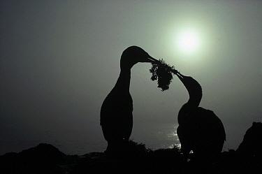 Flightless Cormorant (Phalacrocorax harrisi) presents mate with ceremonial nest building gift, Cape Douglas, Fernandina Island, Galapagos Islands, Ecuador  -  Tui De Roy
