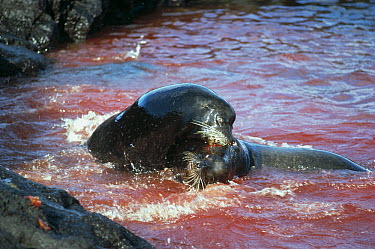 Galapagos Sea Lion (Zalophus wollebaeki) bulls locked in combat, Cape Douglas, Fernandina Island, Galapagos Islands, Ecuador  -  Tui De Roy