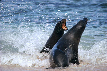 Galapagos Sea Lion (Zalophus wollebaeki) two young bulls playfully spar in surf, Punta Espinoza, Fernandina Island, Galapagos Islands, Ecuador  -  Tui De Roy