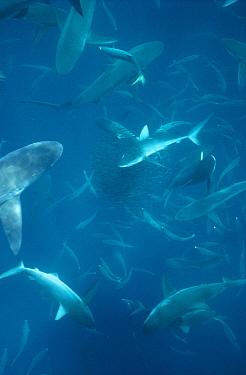 Silky Shark (Carcharhinus falciformis) feeding frenzy runners preying on Creolefish (Paranthias furcifer), Wenman Island, Galapagos Islands, Ecuador  -  Tui De Roy