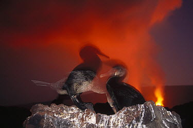 Flightless Cormorant (Phalacrocorax harrisi) nesting colony unconcerned about volcanic eruption, Cape Hammond, Fernandina Island, Galapagos Islands, Ecuador  -  Tui De Roy
